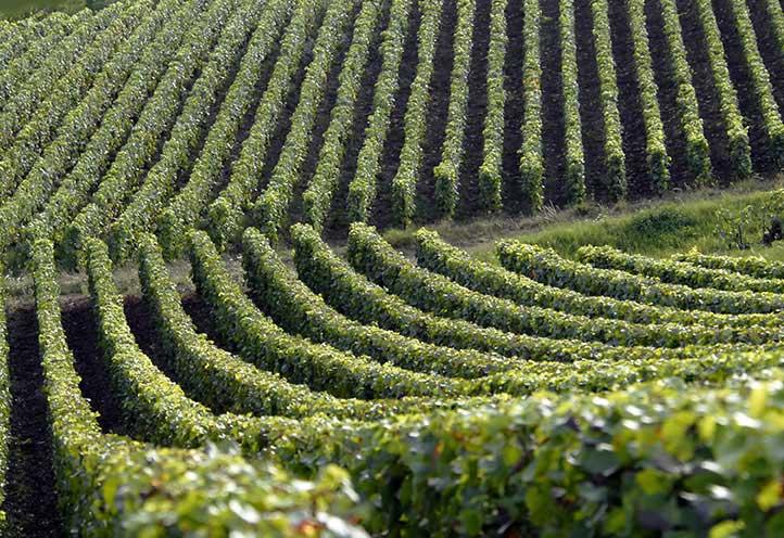 Vignes Champagne